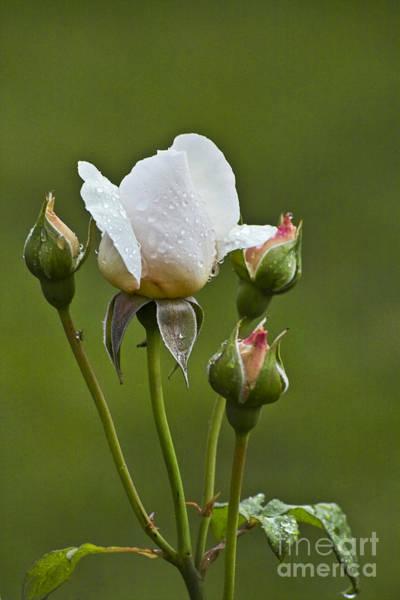 Photograph - Rose Flower Series 6 by Heiko Koehrer-Wagner