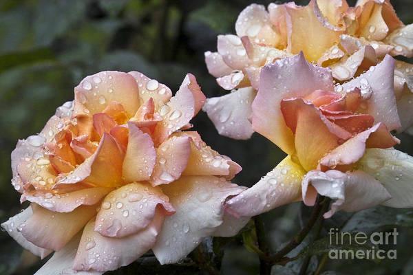 Photograph - Rose Flower Series 7 by Heiko Koehrer-Wagner