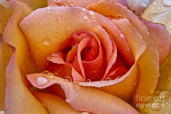 Photograph - Rose Flower Series 8 by Heiko Koehrer-Wagner