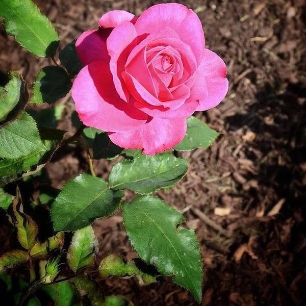 Roses Wall Art - Photograph - Rose by Natasha Marco
