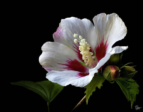 Photograph - Rose Of Sharon by Endre Balogh