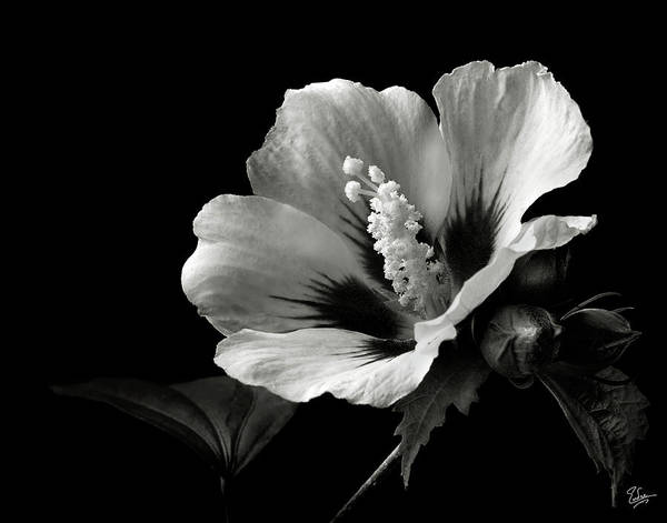 Wall Art - Photograph - Rose Of Sharon In Black And White by Endre Balogh