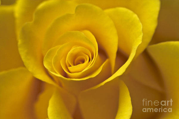 Photograph - Rose Poetry by Heiko Koehrer-Wagner