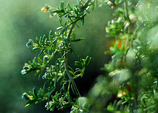 Photograph - Rosemary For Remembrance by Rebecca Sherman