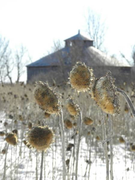 Photograph - Round Barn With Sunflowers by Peggy  McDonald