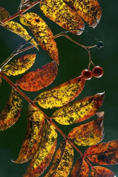 Rowan Photograph - Rowan Foliage (sorbus Aucuparia) by Bob Gibbons