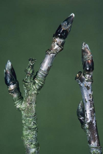 Rowan Photograph - Rowan Tree Branches (sorbus Aucuparia) by Bob Gibbons