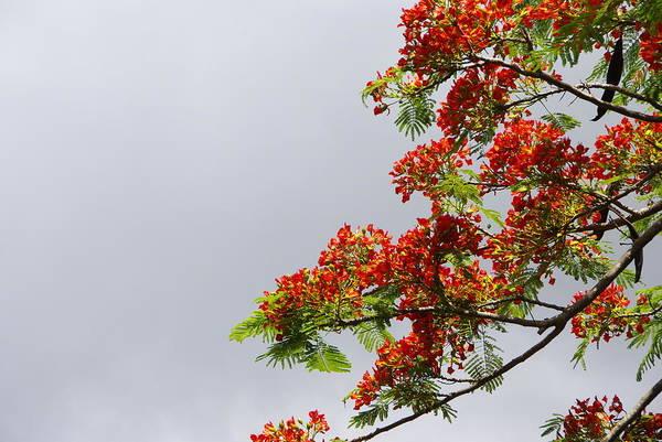 Photograph - Royal Poinciana Tree by Marilyn Wilson