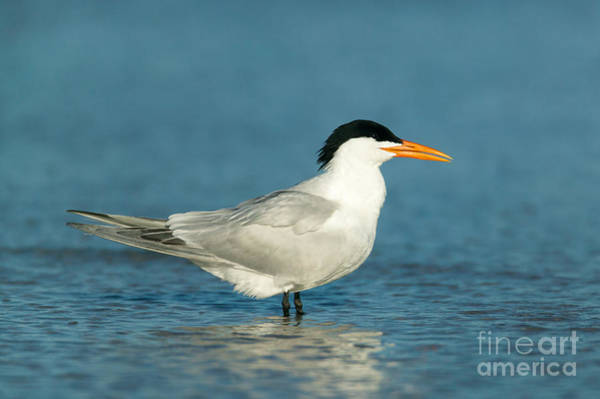 Photograph - Royal Tern by Clarence Holmes