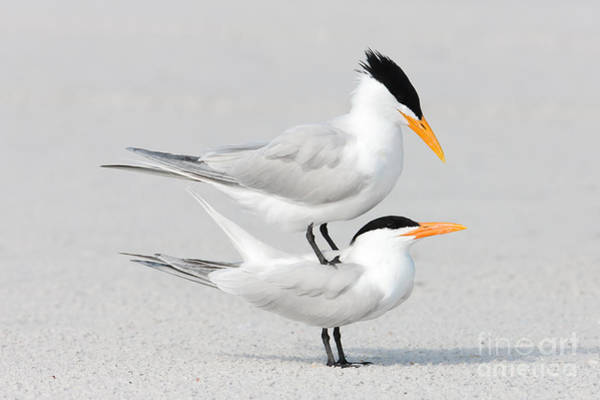 Photograph - Royal Terns Courting by Clarence Holmes