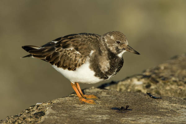 Scolopacidae Photograph - Ruddy Turnstone Arenaria Interpres by Jan Sleurink