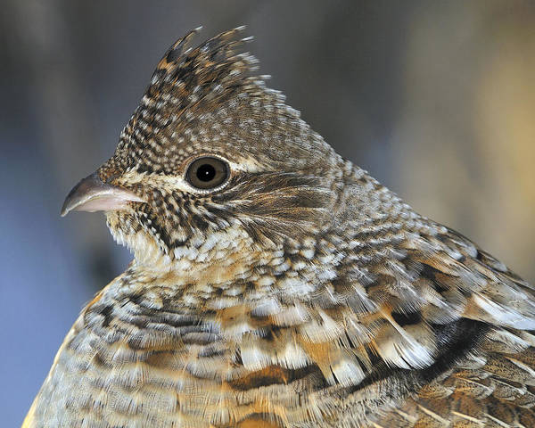 Ruffed Grouse Photograph - Ruffed Grouse Portrait by Tony Beck