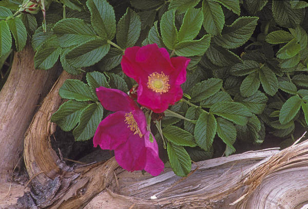 Photograph - Rugosa Rose And Driftwood by Ralph Fahringer