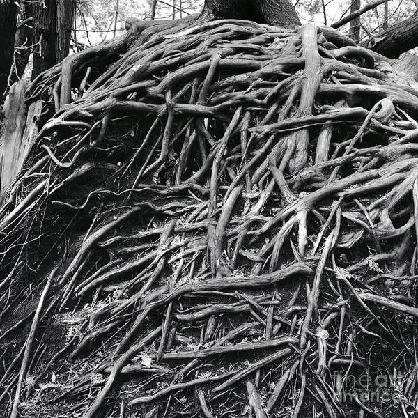 Woodlot Photograph - Rural Roots by Gordon Wood