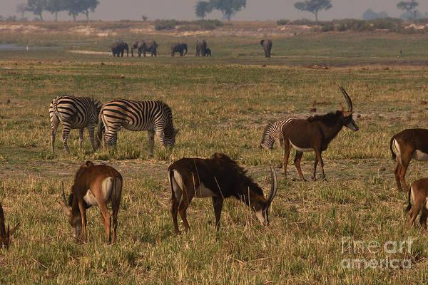Photograph - Sable Antelope With Zebra And Elephants by Mareko Marciniak