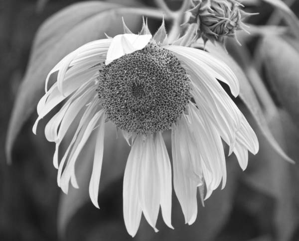 Photograph - Sad Sunflower Black And White by James BO Insogna