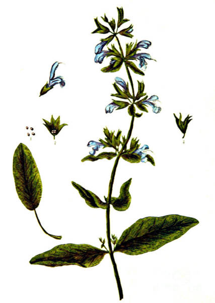 Photograph - Sage by Science Source