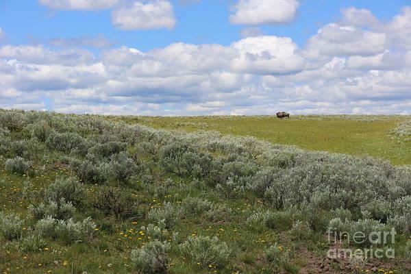 Photograph - Sagebrush And Buffalo by Carol Groenen