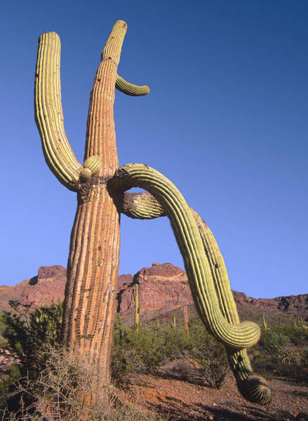 Photograph - Saguaro Carnegiea Gigantea And Ajo by Tim Fitzharris