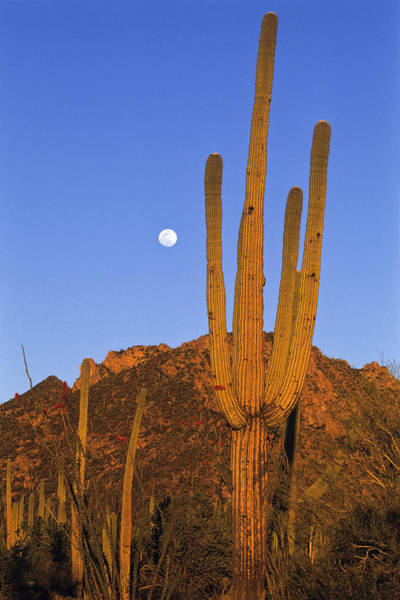 Photograph - Saguaro Carnegiea Gigantea Cactus by Konrad Wothe