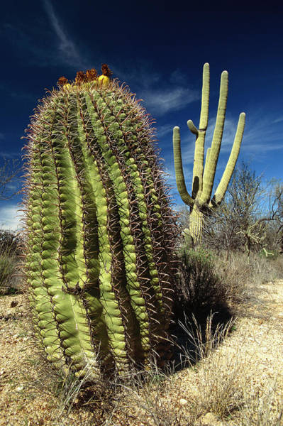 Photograph - Saguaro Carnegiea Gigantea by Gerry Ellis