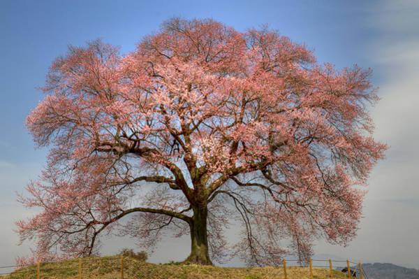 Sakura Sakura 1 Art Print