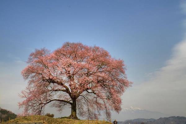Sakura Sakura 2 Art Print
