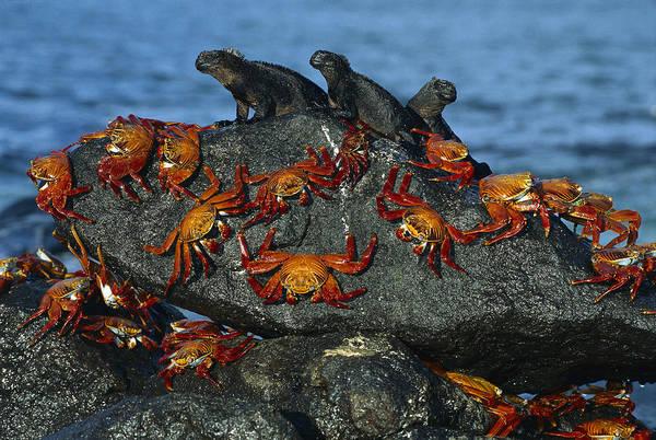 Photograph - Sally Lightfoot Crab Grapsus Grapsus by Tui De Roy