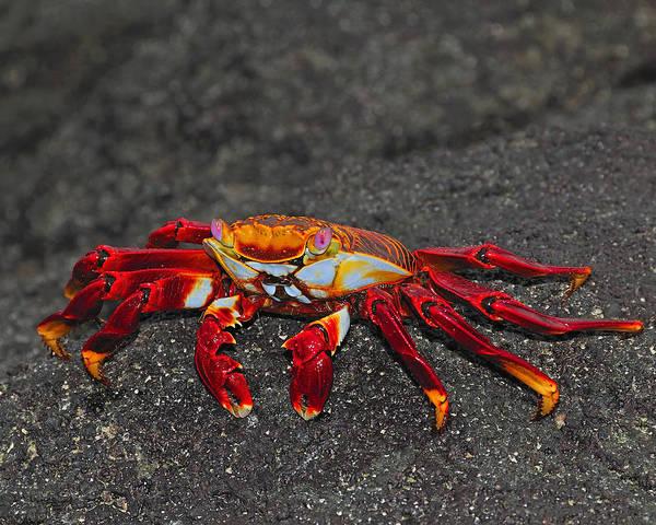 Photograph - Sally Lightfoot Crab by Tony Beck