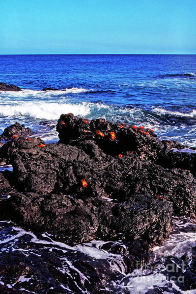 Photograph - Sally Lightfoot Crabs On Basalt by Thomas R Fletcher
