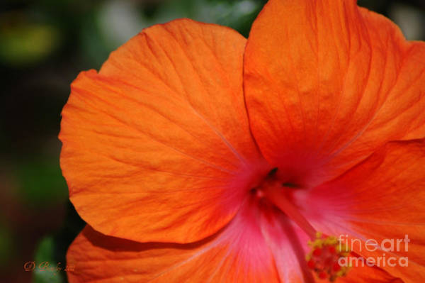 Photograph - Salmon Hibiscus 2 by Donna Bentley