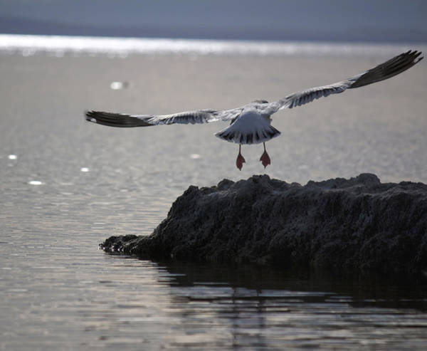 Sonny Bono Wall Art - Photograph - Salton Sea Gull by Linda Dunn