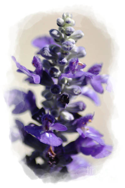 Photograph - Salvia by Donna Bentley