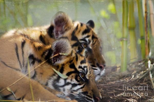 Wall Art - Photograph - Samatran Tiger Cubs by Betty LaRue