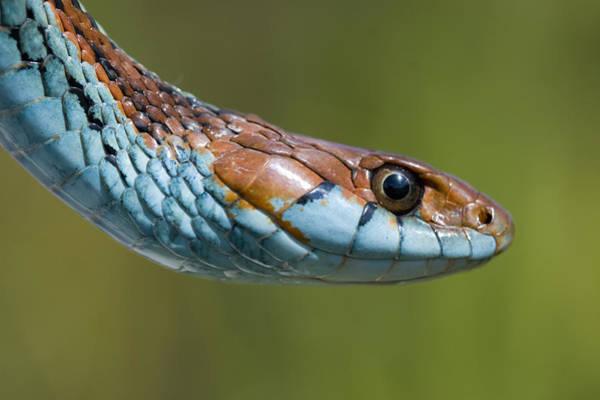 Snake Wall Art - Photograph - San Francisco Garter Snake Portrait by Sebastian Kennerknecht