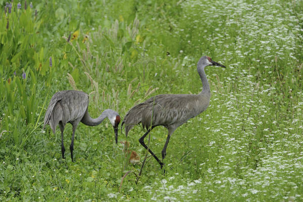 Photograph - Sandhill Cranes And Chick by Bradford Martin