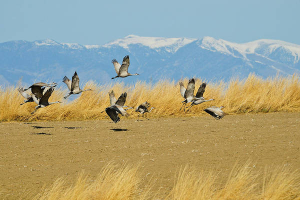 Photograph - Sandhill Cranes In Flight by Greg Norrell