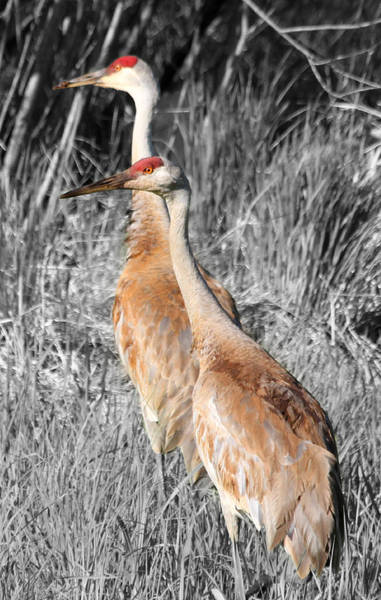 Mark Coleman Wall Art - Photograph - Sandhill Cranes In Select Color by Mark J Seefeldt