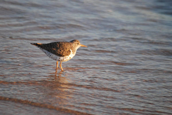 Scolopacidae Photograph - Sandpiper 4965 by Michael Peychich