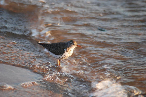 Scolopacidae Photograph - Sandpiper 4966 by Michael Peychich