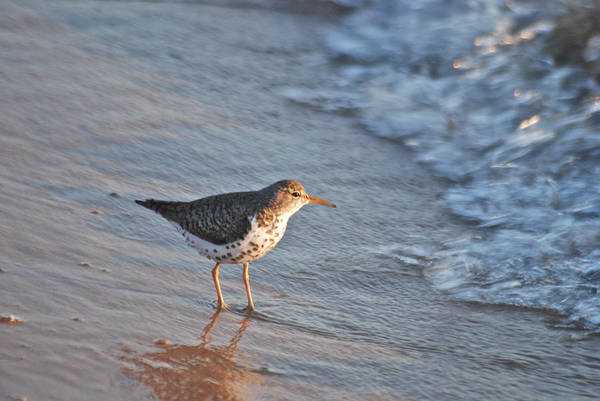 Scolopacidae Photograph - Sandpiper 4967 by Michael Peychich