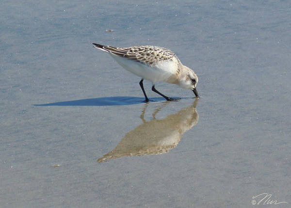 Photograph - Sandpiper Solitude by Nancy Griswold