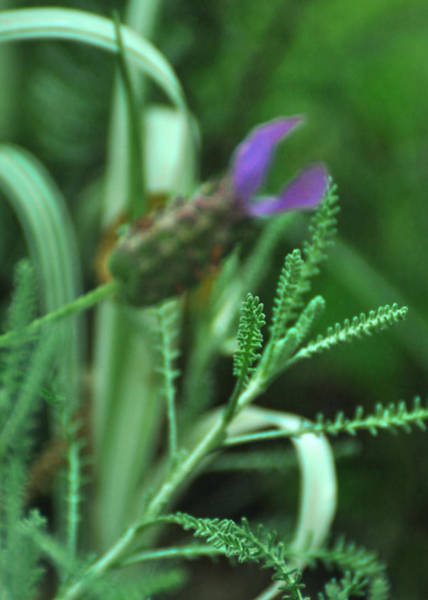 Photograph - Santolina Chamaecyparissus Lavender Cotton by Rebecca Sherman