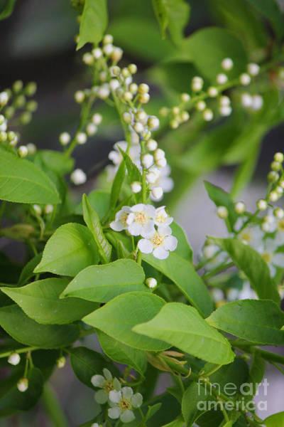 Photograph - Saskatoon Blossoms Neutral by Donna L Munro