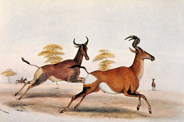 1841 Photograph - Sassaby And Hartebeest, by Granger