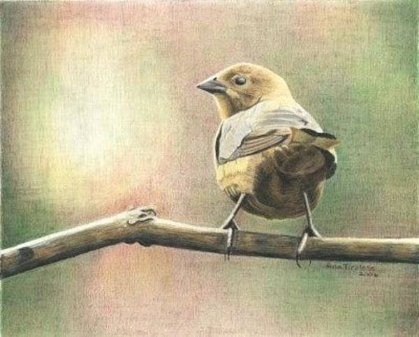 Drawing - Saucy Cowbird by Ana Tirolese
