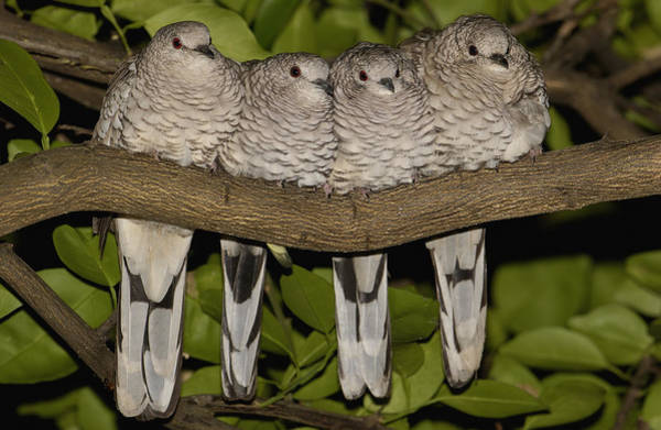 Photograph - Scaled Dove Columbina Squammata Four by Pete Oxford