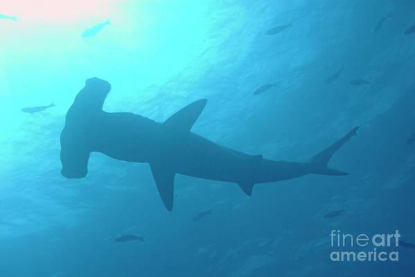 Hammerhead Photograph - Scalloped Hammerhead Shark by Sami Sarkis
