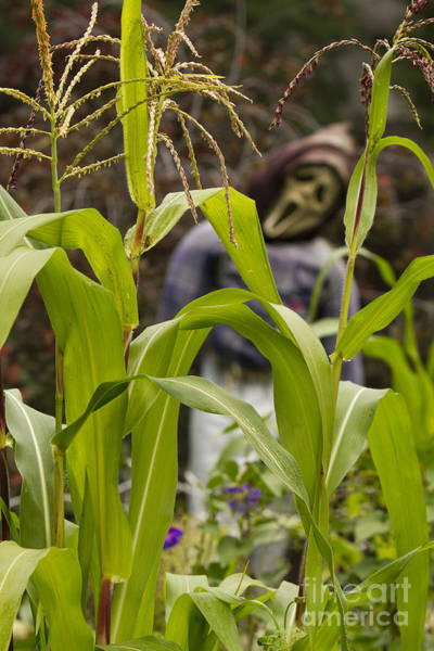 Photograph - Scarecrow In The Corn Vertical Image by James BO Insogna
