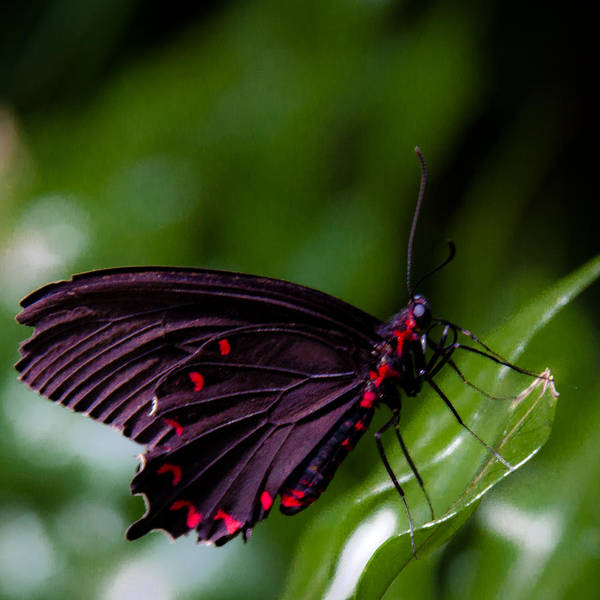 Photograph - Scarlet Swallowtail by David Patterson